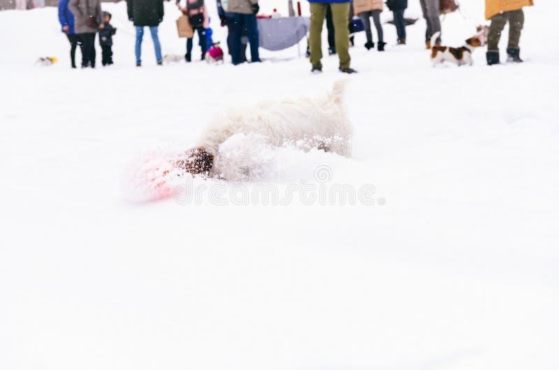 Chien jouant devant le rassemblement canin de club au beau jour d'hiver photos stock