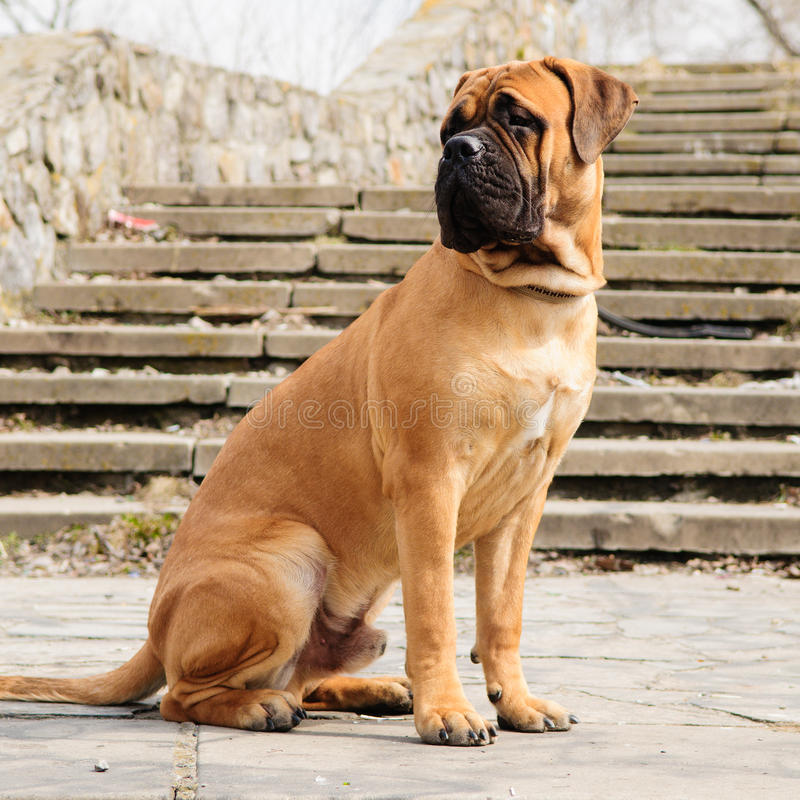 Chien junior de bullmastiff photographie stock