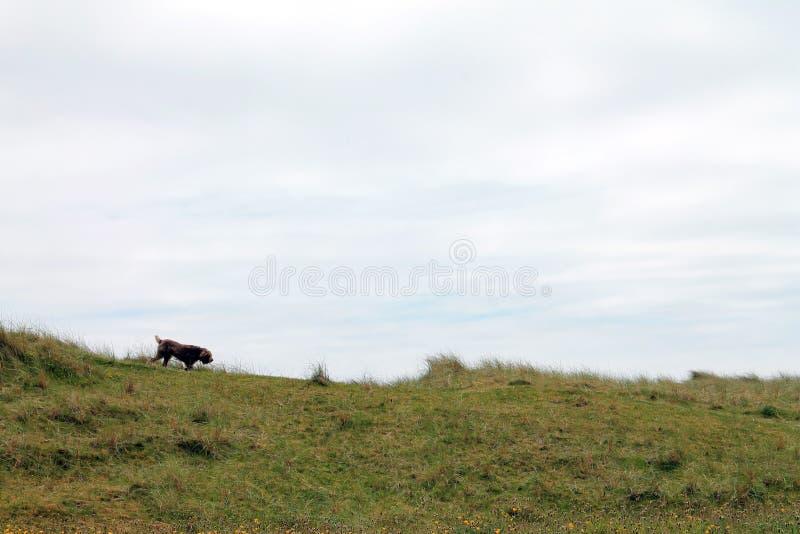 Chien Kerry Beach images libres de droits