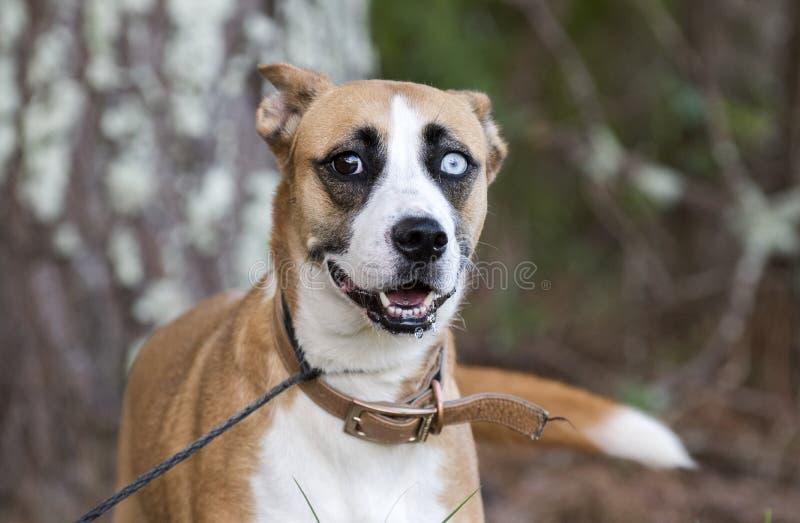 Chien mélangé enroué de race de Basenji avec un oeil bleu image stock