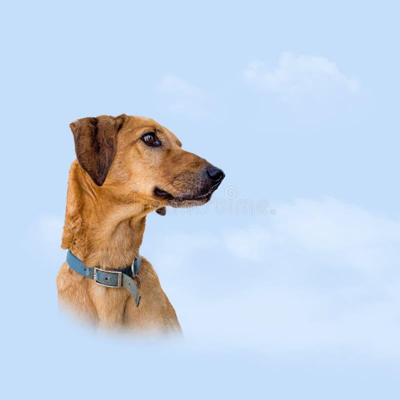 Chien métis de Brown au-dessus de fond de ciel Concept de ciel d'animal familier image libre de droits