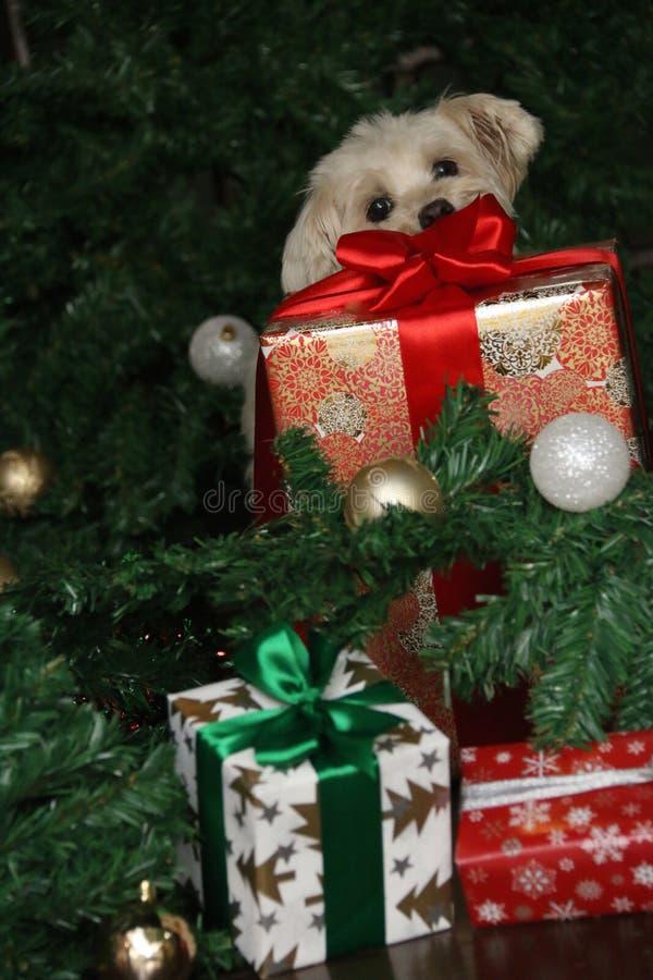 Chien maltais et grand cadeau de Noël photo stock