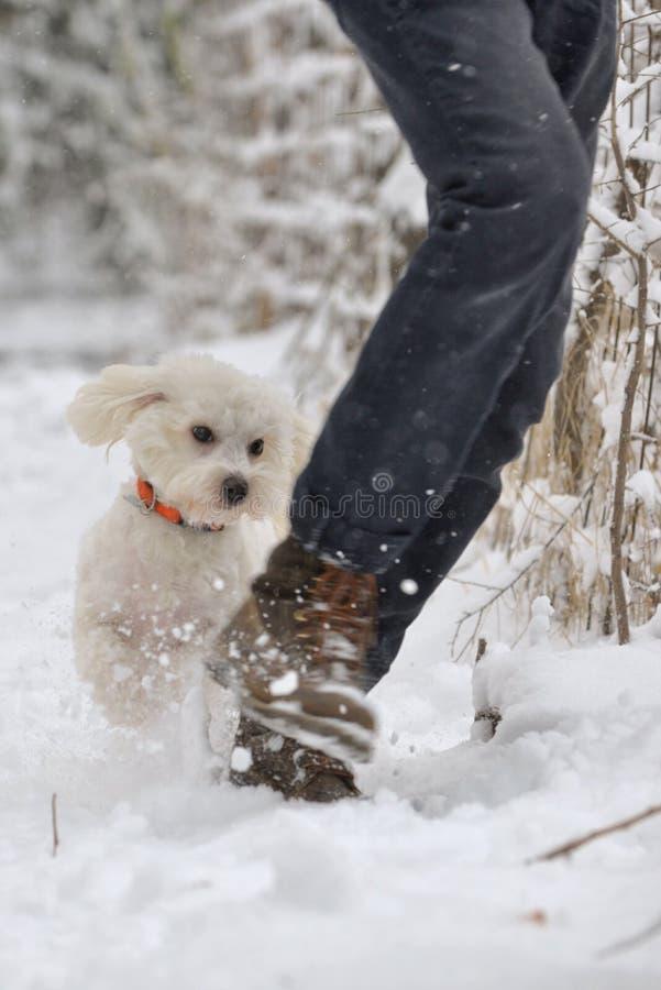 Chien maltais fonctionnant dans la neige sur le parc d'hiver photo libre de droits