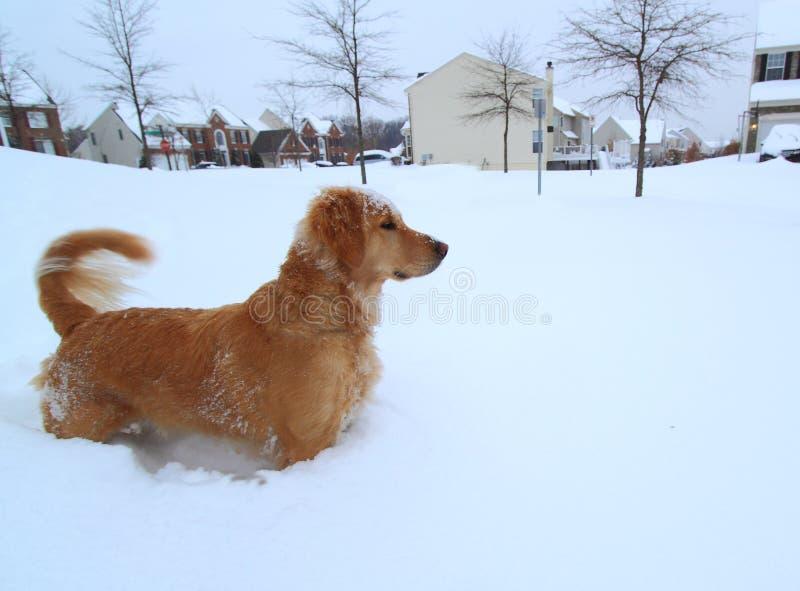 Chien marchant dans la tempête de neige photographie stock libre de droits