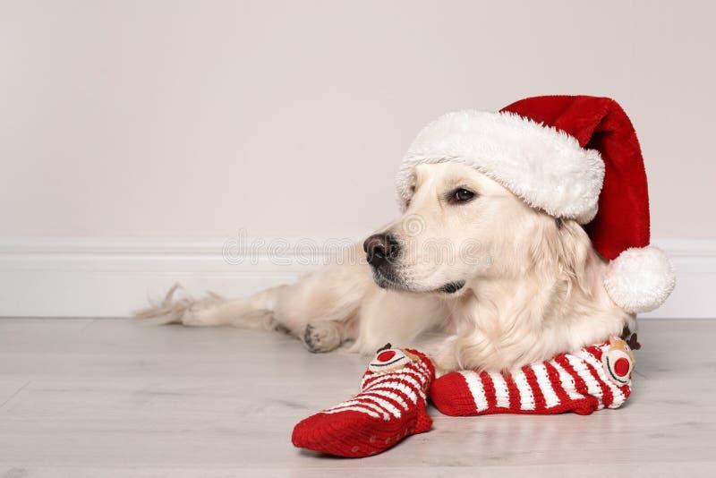 Chien mignon avec le chapeau de Noël et chaussettes sur le plancher images stock
