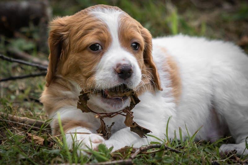 Chien mignon d'épagneul de Bretagne de bébé avec la branche et les feuilles dans sa bouche, mâchant photo libre de droits