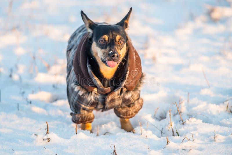 Chien mignon dans la langue d'apparence d'hiver images libres de droits