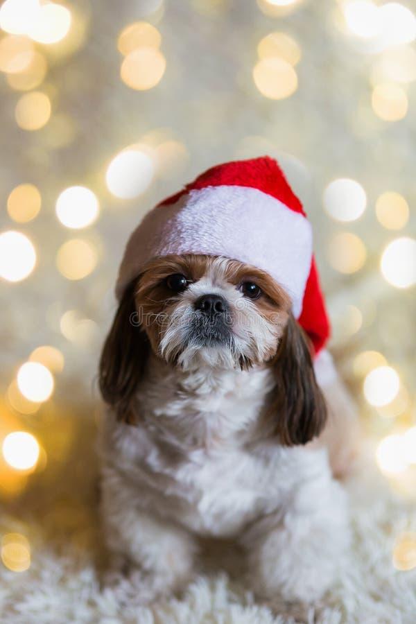 Chien mignon dans le chapeau de Santa Claus Carnaval, célébration Chiot avec le chapeau de Noël photos stock