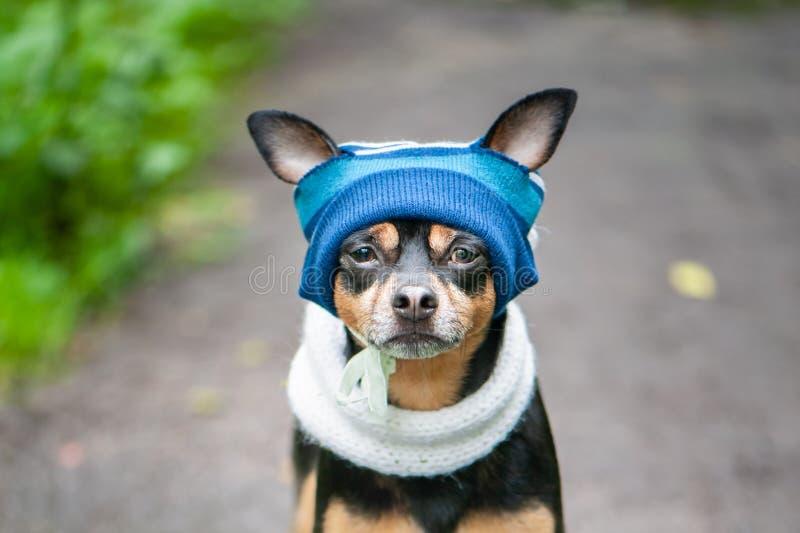 Chien mignon dans un chapeau et une écharpe bleus par temps pluvieux Concept animal d'habillement image libre de droits