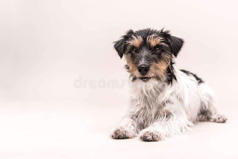 Chien mignon de Jack Russell Terrier sur le blanc image libre de droits