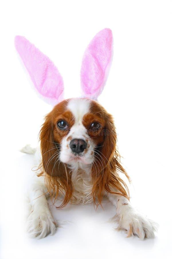 Chien mignon de lapin de Pâques avec des oreilles de lapin Photos cavalières de studio de chien d'épagneul de roi Charles de vaca photographie stock libre de droits
