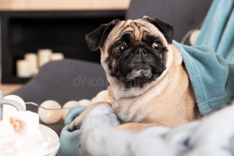 Chien mignon de roquet avec des couvertures sur le sofa à la maison image libre de droits