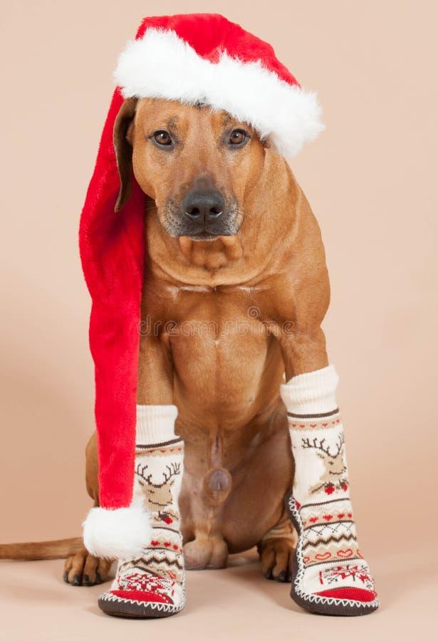 Chien mignon de Santa avec le chapeau et les chaussettes de Noël image libre de droits