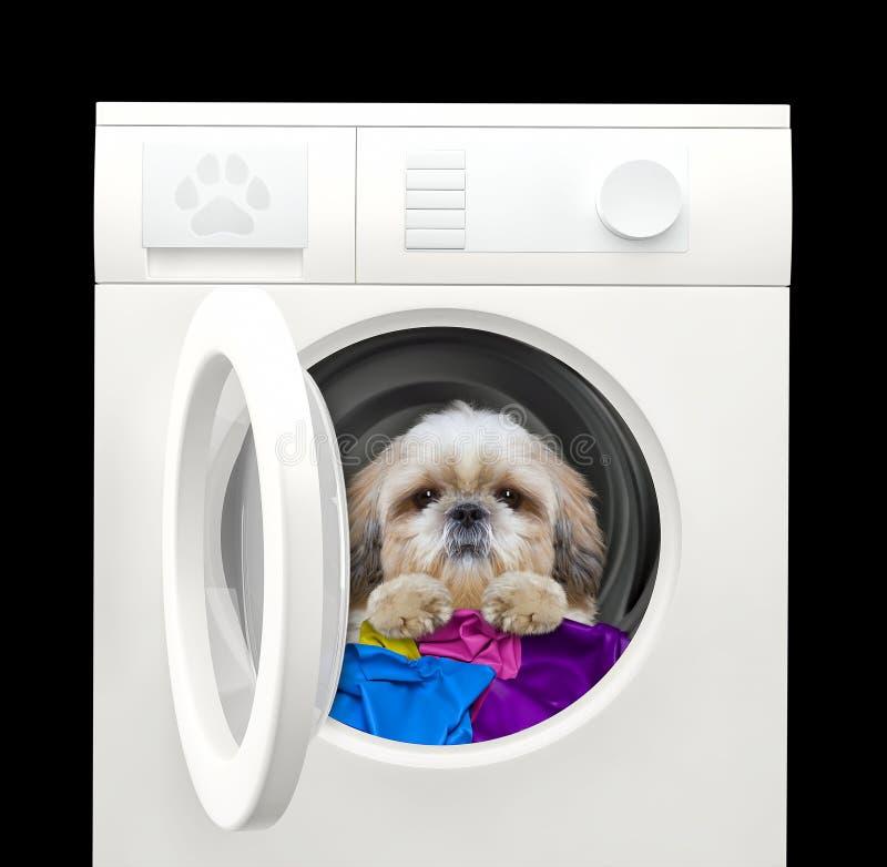 Chien mignon de shitzu après lavage dans une machine à laver D'isolement sur le noir image libre de droits