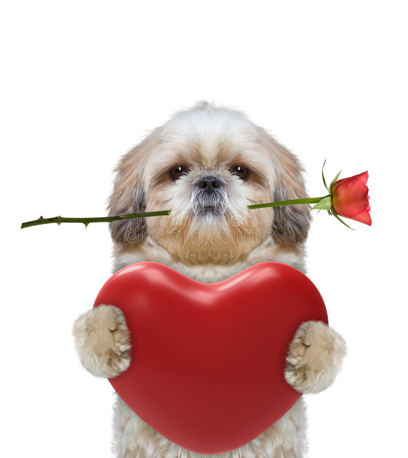 Chien mignon de Valentine en verres avec le coeur photographie stock libre de droits