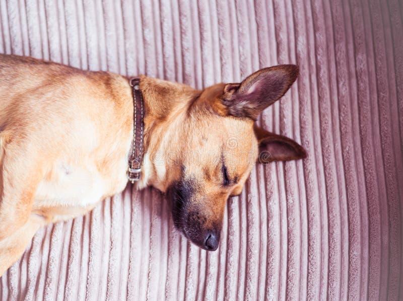 Chien mignon dormant sur un sofa images stock