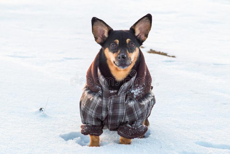 Chien mignon en hiver avec des vêtements photographie stock libre de droits