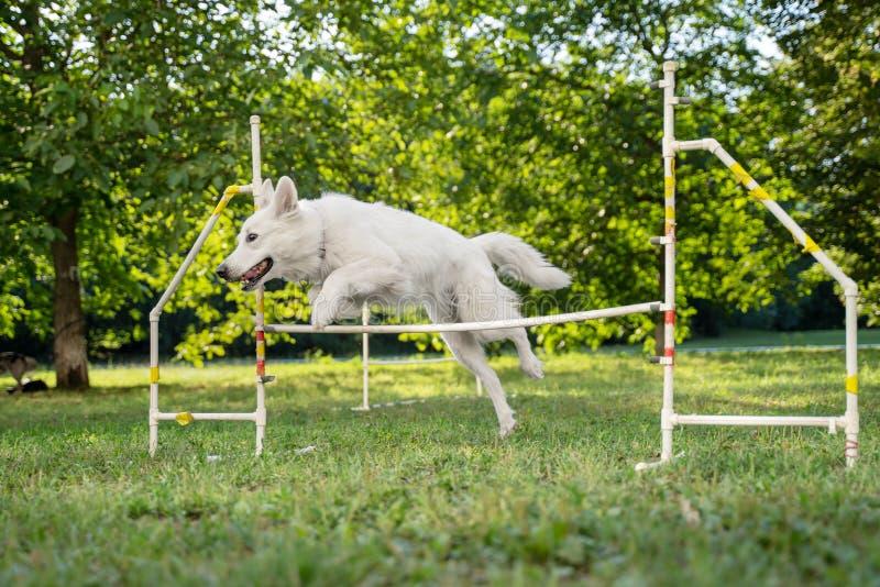 Chien mignon fonctionnant sur la concurrence d'agilité Le chien en concurrence d'agilit? a install? en parc herbeux vert sauter s photographie stock libre de droits