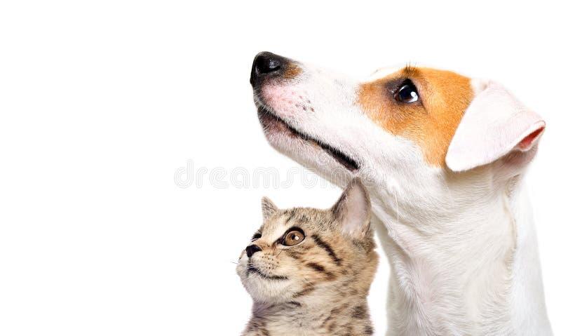 Chien mignon Jack Russell Terrier et chaton écossais directement image stock