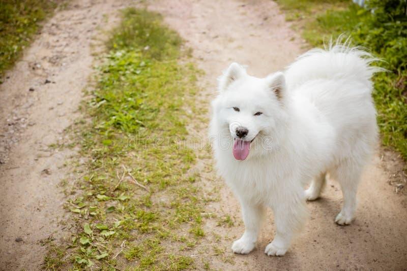 Chien mignon pelucheux blanc de langue de samoyed dans le chemin de parc, toilettage de chien Le chien de Samoyed marche sur l'he image stock