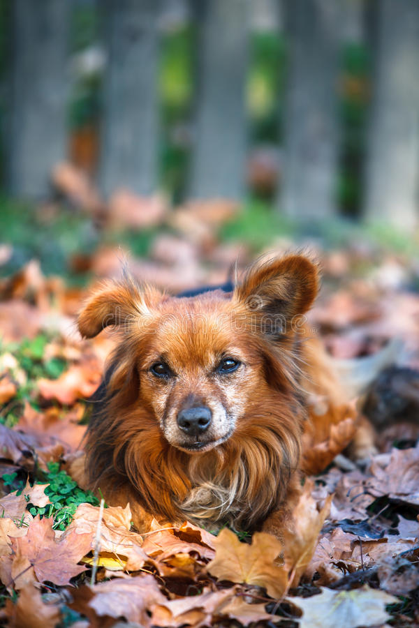 Chien mignon s'étendant dans les feuilles d'automne images stock