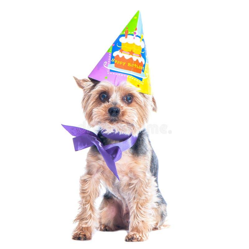 Chien mignon, terrier de Yorkshire dans la célébration de chapeau de partie de carnaval images stock