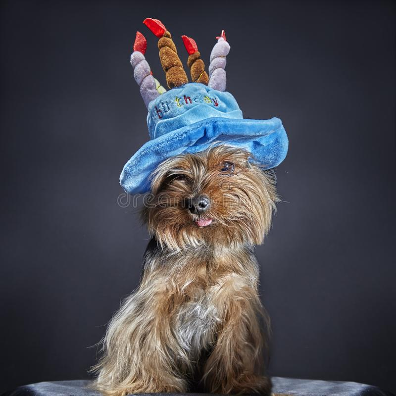 Chien mignon, terrier de Yorkshire dans le chapeau de partie de carnaval célébrant l'anniversaire photos stock
