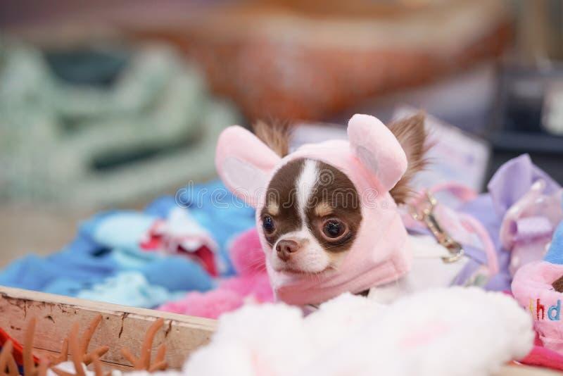 Chien mignon Un chien pur de race de chiwawa dans le panier de grillage pour vendre des accessoires de chien et de chiot image stock