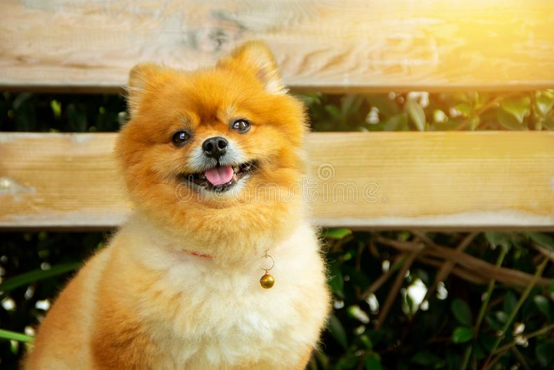 Chien mini Pomeranian orange brun dans le style de cru de jardin photographie stock