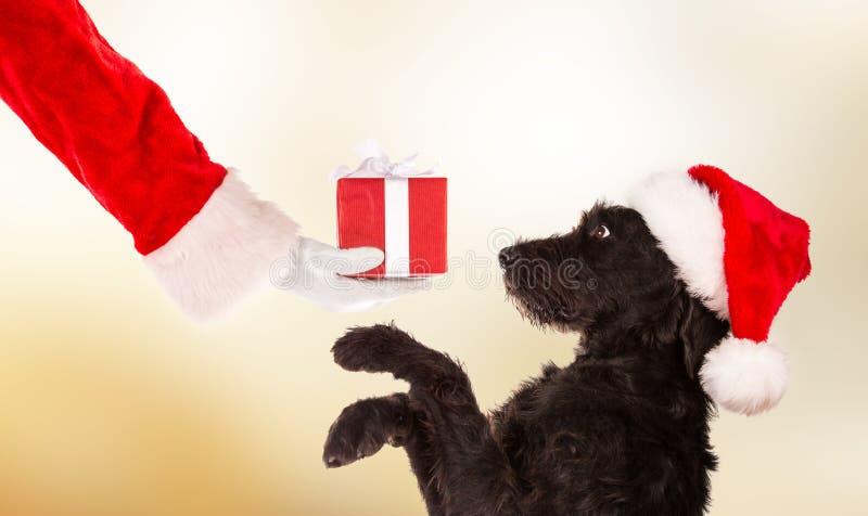 Chien noir dans le chapeau de Santa photographie stock