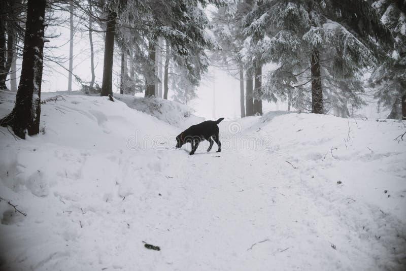Chien noir de Labrador dans la neige dans la forêt photos stock