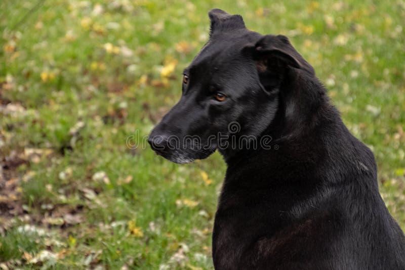 Chien noir de mélangé-race de berger regardant derrière lui comme il garde l'arrière-cour image libre de droits