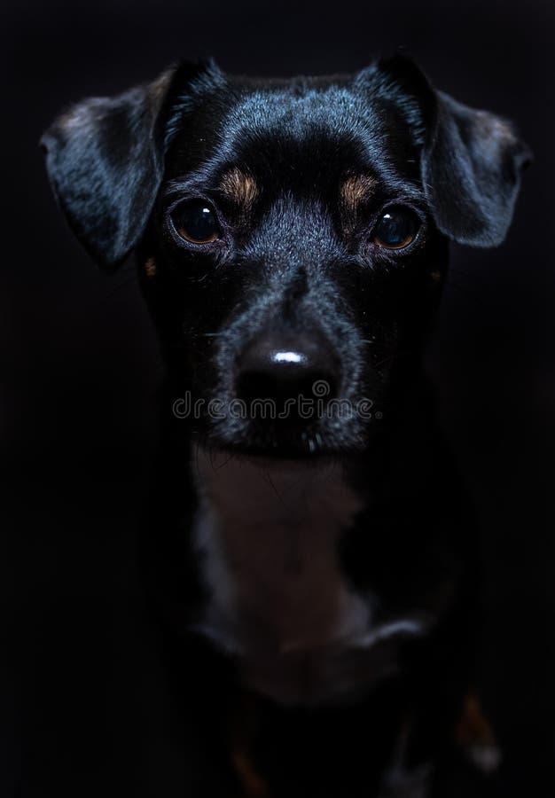 Chien noir devant le contexte noir avec seulement ses yeux au foyer photo stock