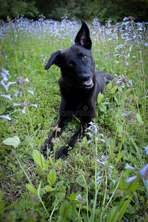 Chien noir fixant en fleurs sauvages pourpres images stock