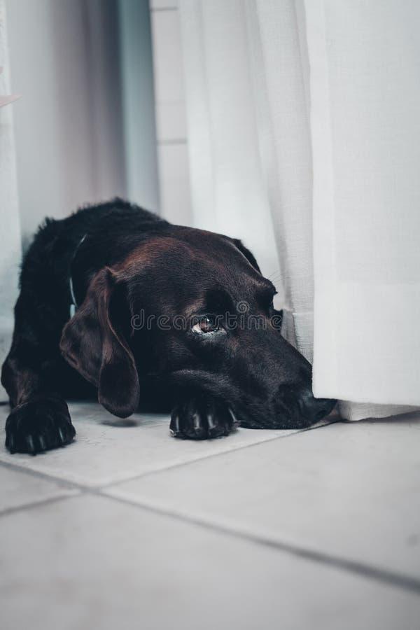 Chien noir se couchant entre les rideaux photographie stock
