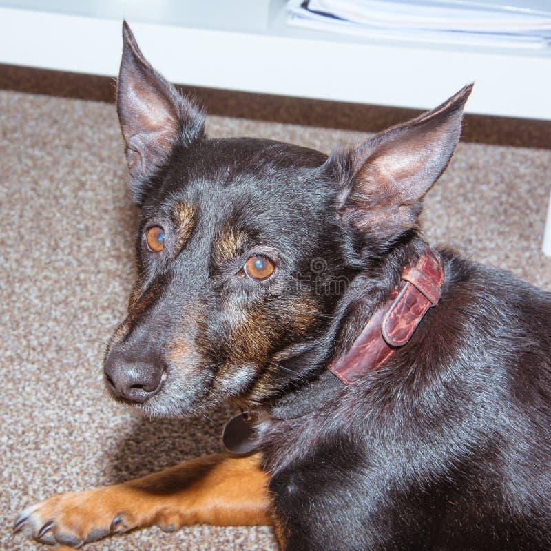 Chien noir - vieux bâtard mélangé de chien de délivrance de race dormant dans le salon sur le tapis gris - animal familier triste image stock
