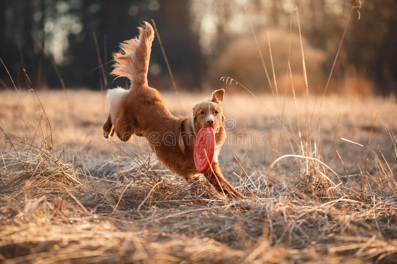 Chien Nova Scotia Duck Tolling Retriever marchant au printemps parc image libre de droits