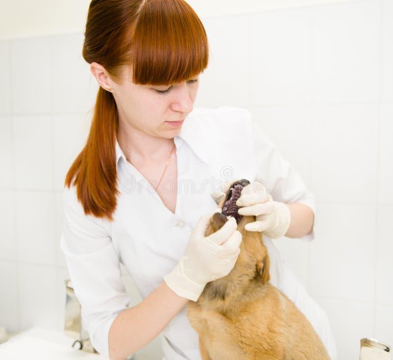 Chien obtenant des dents examinées par le vétérinaire images stock