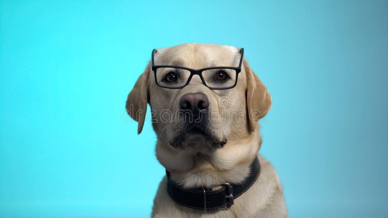 Chien pedigreed amusant en lunettes posant sur la caméra, la caméra intelligente, la publicité image stock