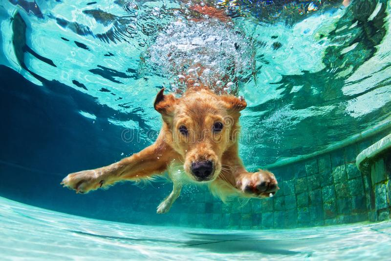 Chien plongeant sous l'eau dans la piscine photos stock