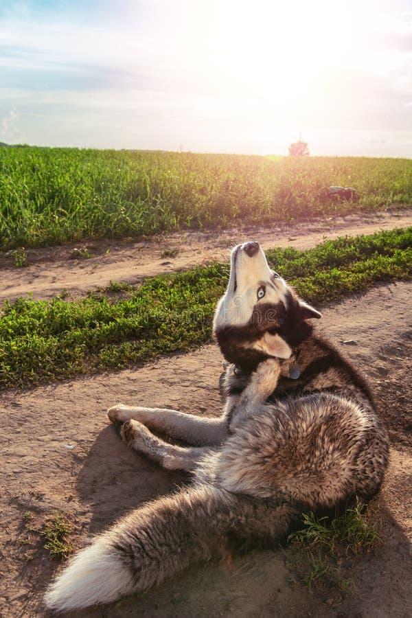 Chien rayant l'oreille irritante Le chien de traîneau sibérien se gratte l'oreille sur la promenade photos stock