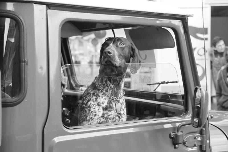 Chien regardant la fenêtre de voiture photos stock