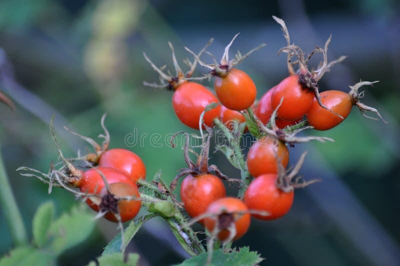 Chien-rose avec le fruit mûr photographie stock libre de droits