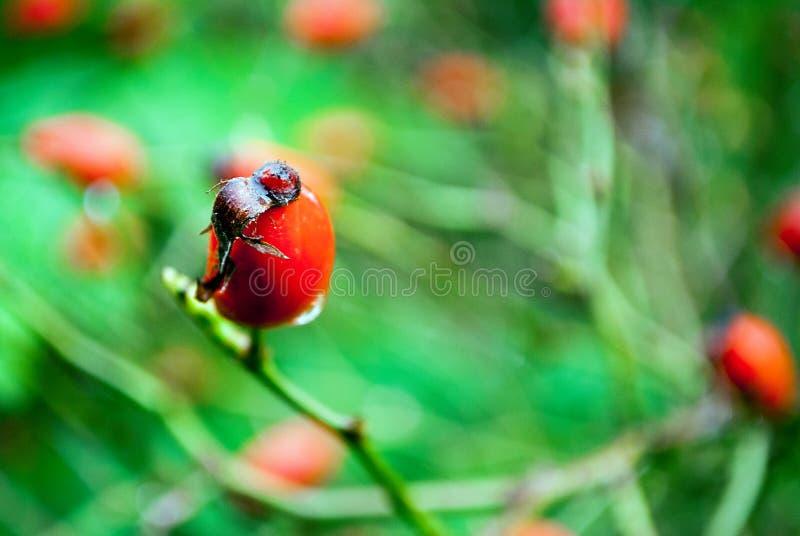 Chien Rose Close Up Red image libre de droits