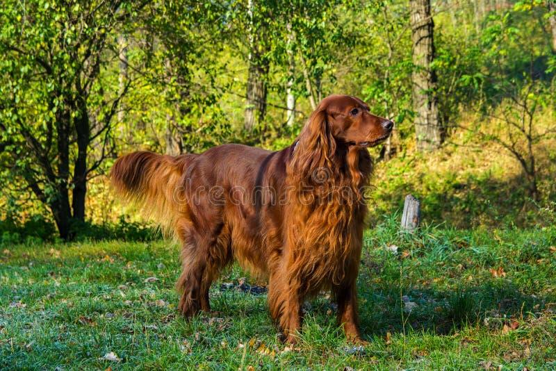 Chien rouge de poseur irlandais dans la forêt verte photos stock