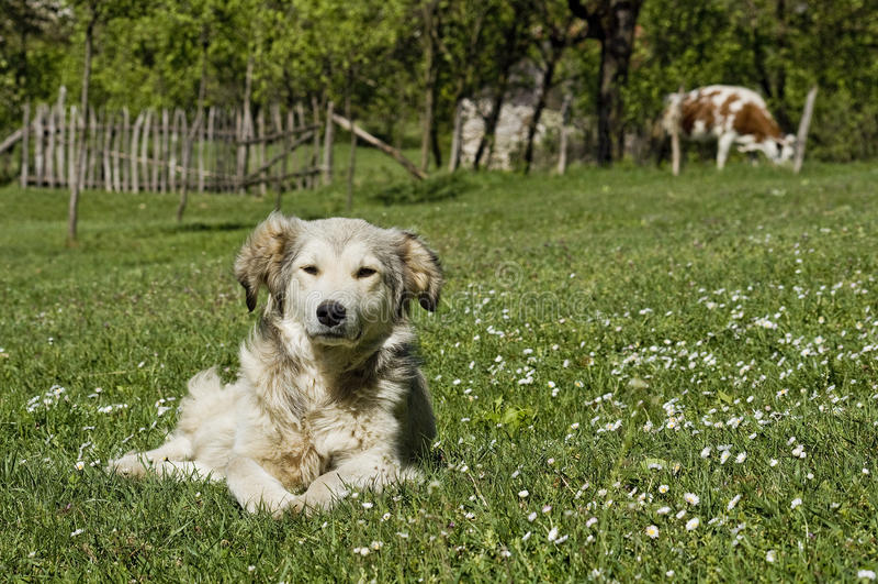 Chien s'étendant dans l'herbe dans la campagne photographie stock libre de droits
