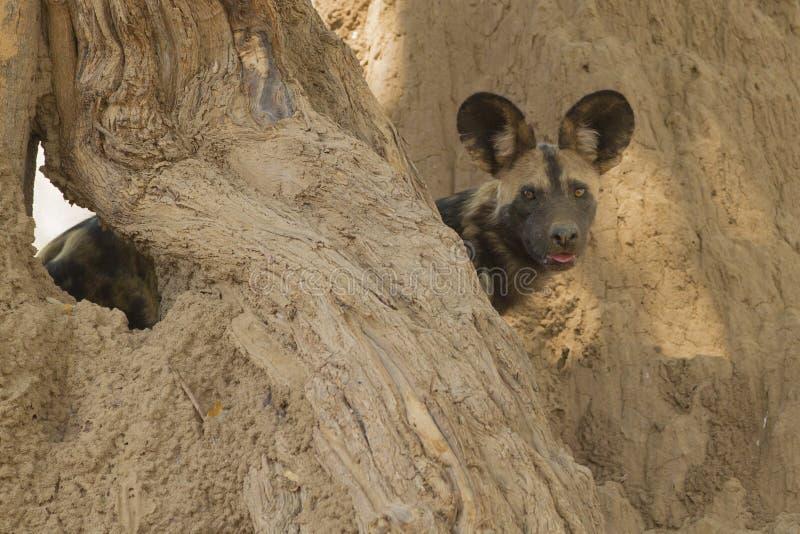 Chien sauvage africain (pictus de Lycaon) regardant l'appareil-photo photographie stock