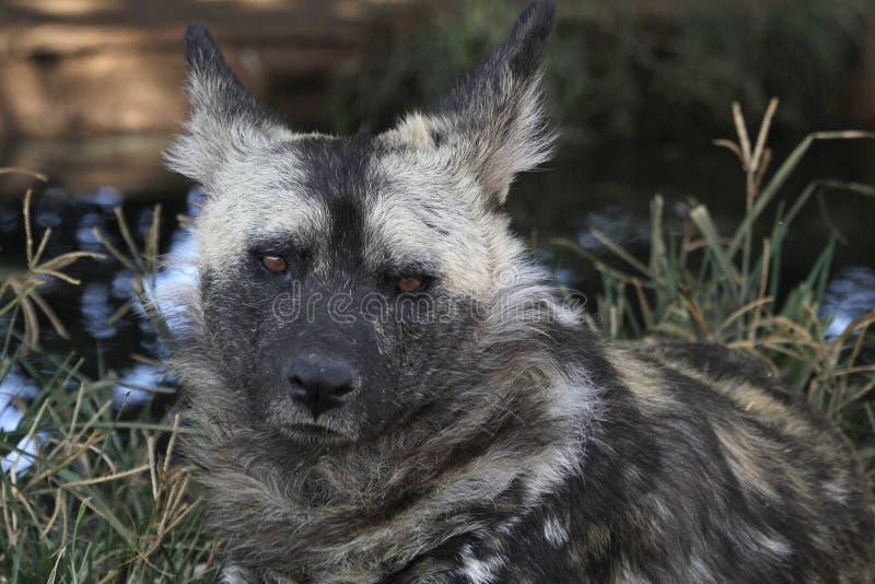 Chien sauvage - espèce menacée photo libre de droits