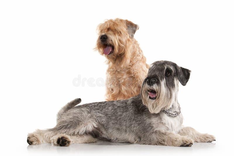 Chien Schnauzer miniature et terrier blond comme les blés enduit mou irlandais photos stock