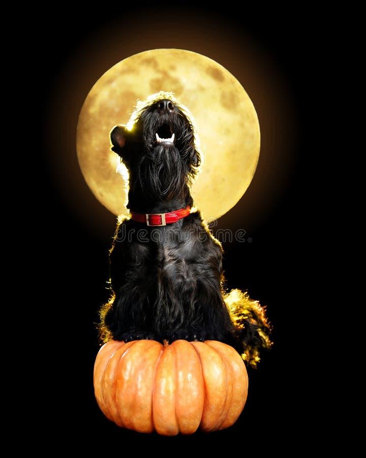 Chien se reposant le Halloween pumpking images libres de droits